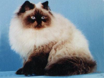 Хобби – кошки-гималайцы
