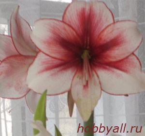 Выращивание гиппеаструма как увлечение