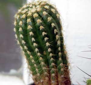 Мое хобби – выращивание кактусов