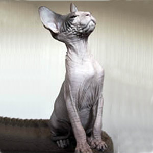 Хобби – кошки породы кохона