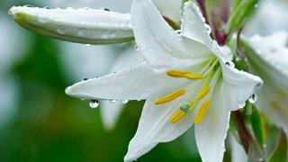 Вышивание крестиком: схемы Белая лилия