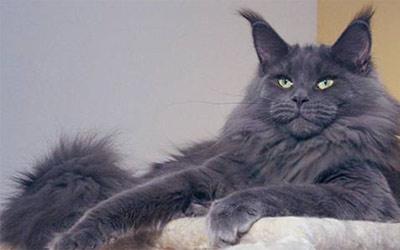 Хобби – кошки породы мейн кун