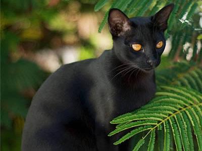 Кошка породы мандалай