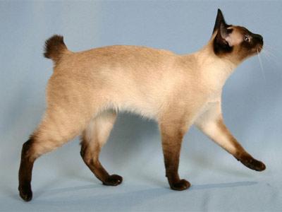 Хобби – кошки-бобтейлы меконгские