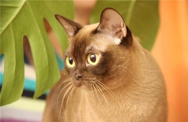 Бурманская порода кошек современная