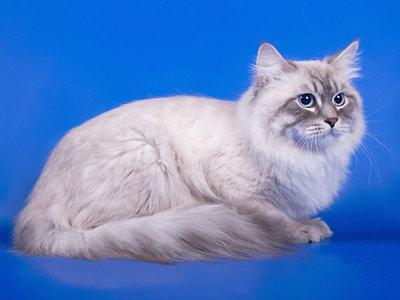 Хобби – кошки породы невская маскарадная