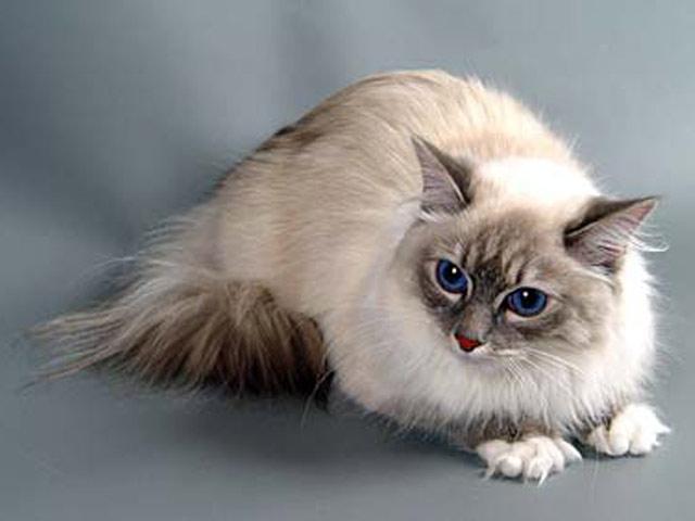 Хобби – кошки невские маскарадные