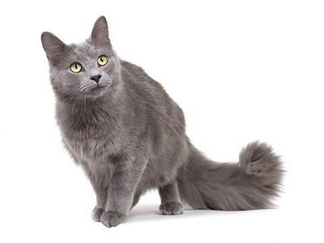 Хобби – кошки нибелунги