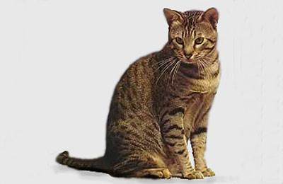 Хобби – коты породы оцикет