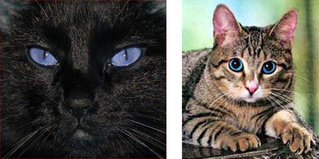 Американские голубоглазые кошки Охос Азулес