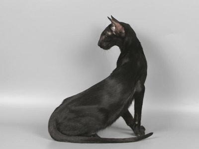 Хобби – кошки-ориенталы