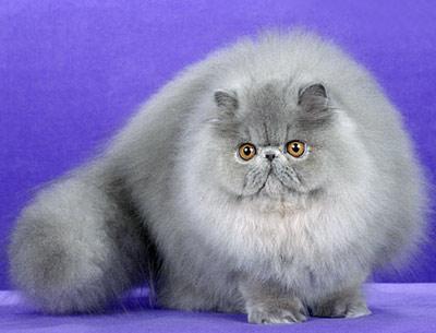 Хобби – шиншилловые кошки-персы