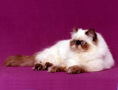 Хобби – гималайские кошки-персы