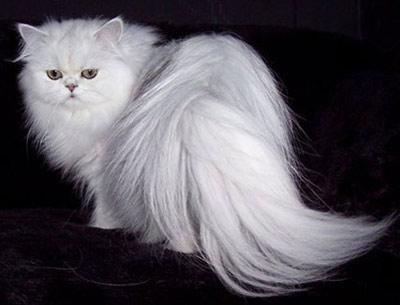 Хобби – белые кошки-персы