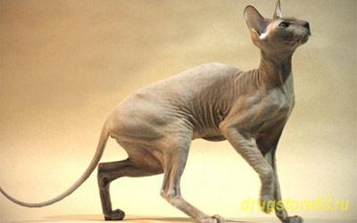 Хобби – кошки породы петерболд