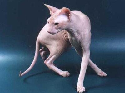 Хобби – кошки-петерболды