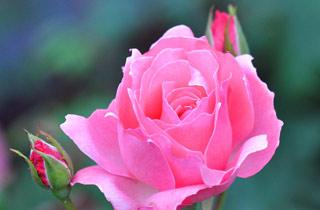 Вышивание крестиком: схемы Розовая роза