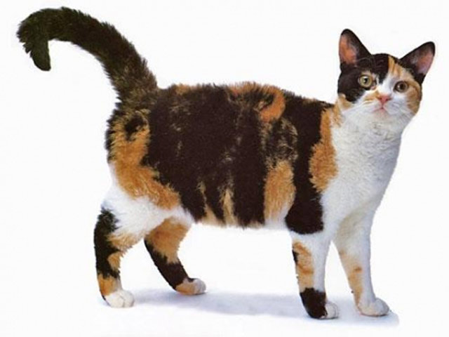 Американские проволочношерстные кошки как хобби