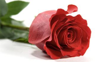 Вышивание крестиком: схемы Красная роза