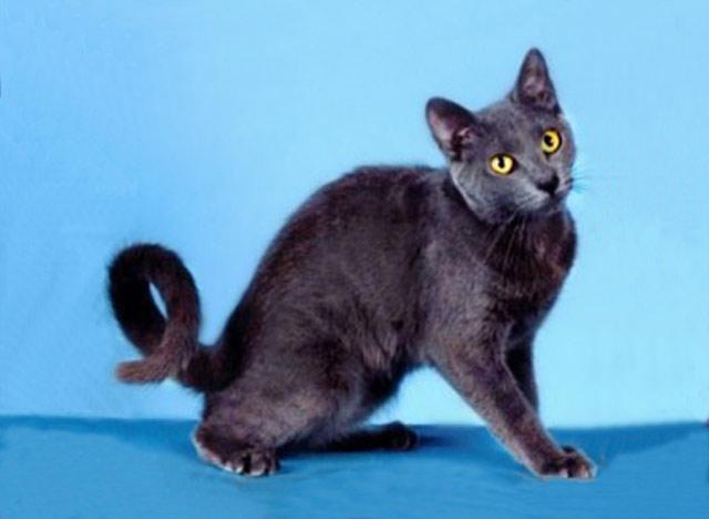 Рингтейл - кольцехвостая кошка как хобби