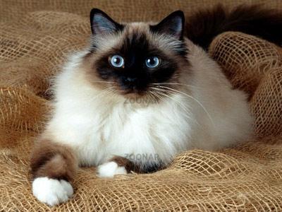 Хобби – кошки-бирмы