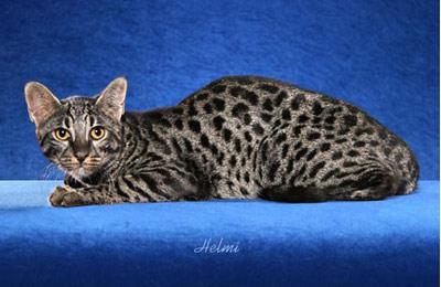 Хобби – коты породы сафари