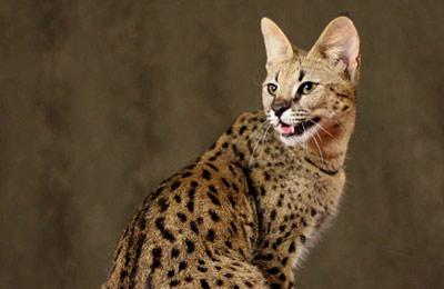 Хобби – кошки саванны