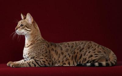 Хобби – кошки породы саванна