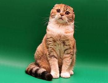 Хобби – шотландские вислоухие кошки