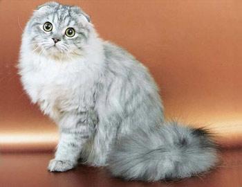 Хобби – длинношерстные вислоухие шотландские кошки