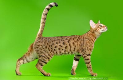 Хобби – кошки серенгети