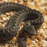 Вид коллекционирования серпентафилия - змеи