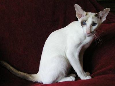Хобби – кошки-сейшельцы