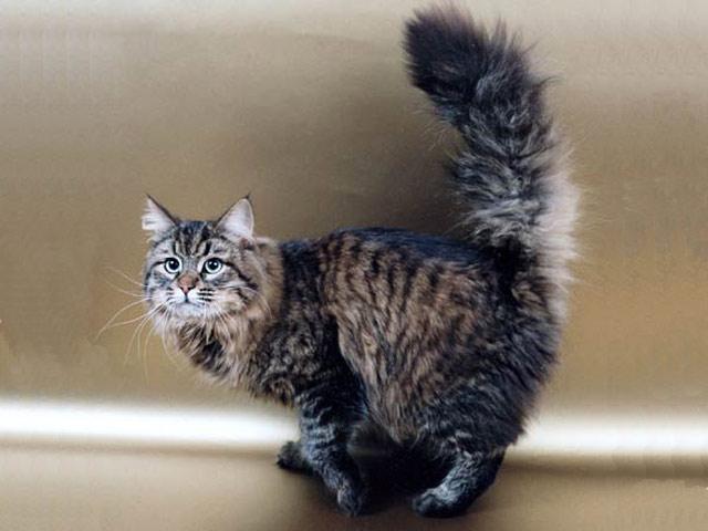 Хобби – кошки сибирские