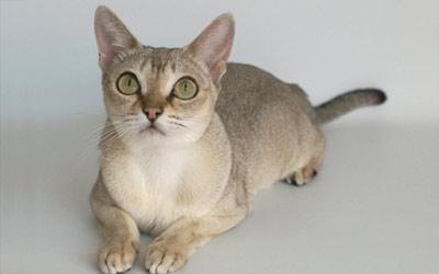 Хобби – кошки породы сингапура