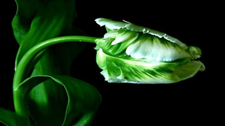 Вышивание крестиком. Зеленый тюльпан