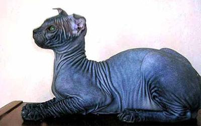 Хобби – кошки породы украинский левкой