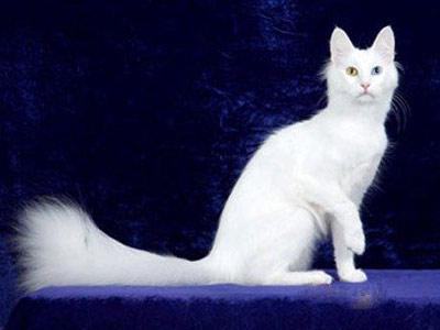 Породы белых кошек: ангорская
