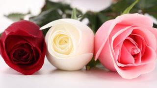 Вышивание крестиком: схемы Белая, красная и бордовая розы