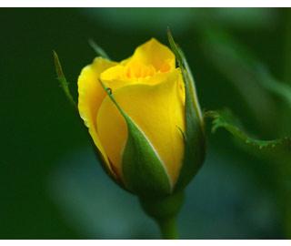Вышивание крестиком: схемы Желтая роза