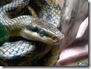 Вид коллекционирования виперофилия — змеи