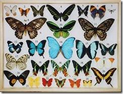 Объект коллекционирования - бабочки. Образец коллекции бабочек